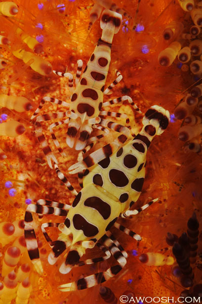 Coleman Shrimp - Perclimenes colemani - 3/4 inch