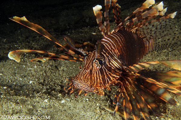 Longspine Lionfish - Pterois andoverAnother one of those critters you give a wide berth to - the tips of their fins are very venomous.