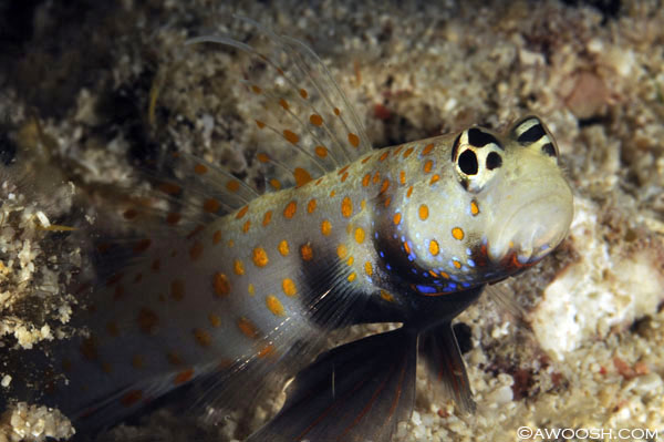 Awoosh.Spotted.Shrimp.Goby