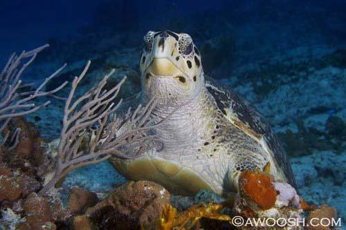Awoosh.turtle