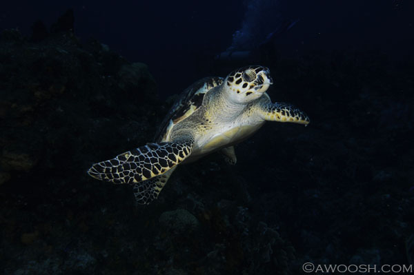awoosh.cozumel.turtle.2