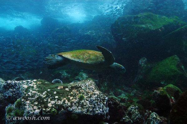 awoosh.galapagos.turtle.2