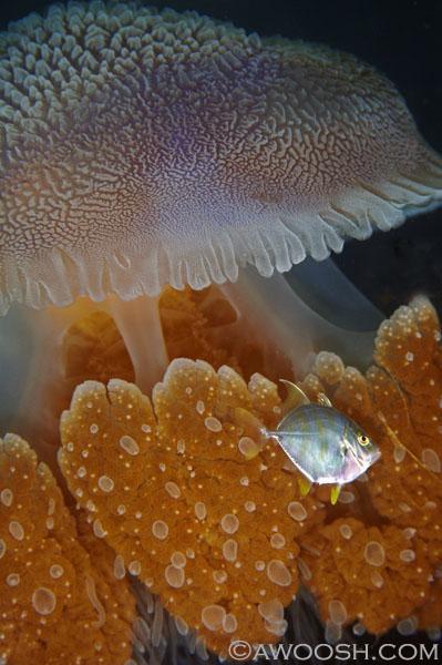awoosh.jellyfish1