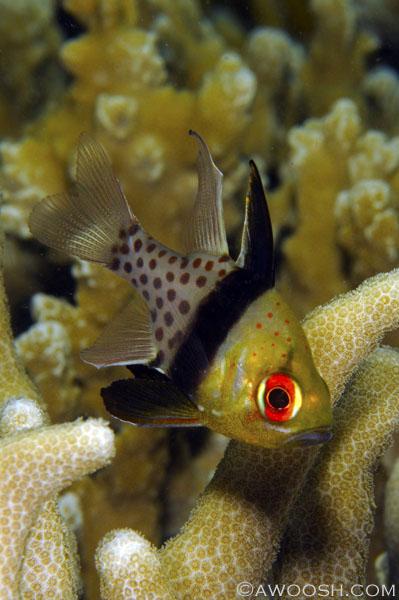 Awoosh.Images.Pajama.Cardinalfish