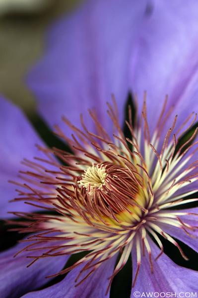 Clematis Vine Bloom