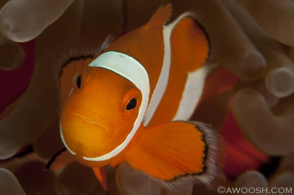 Awoosh.Wakatobi.Anemonefish.3