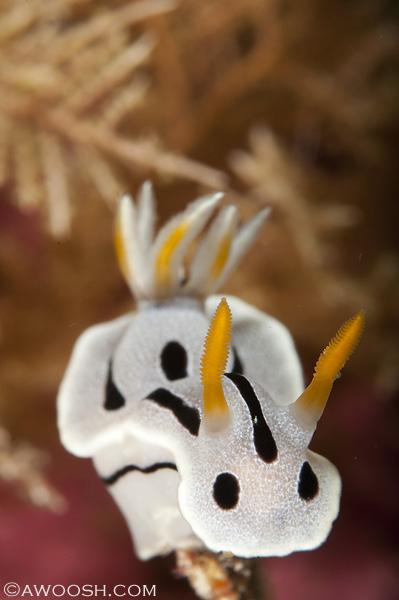 Awoosh.Wakatobi.Nudibranch