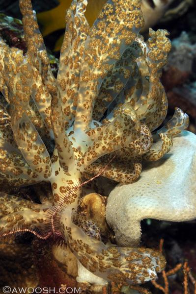 Awoosh.Wakatobi.solar.nudibranch