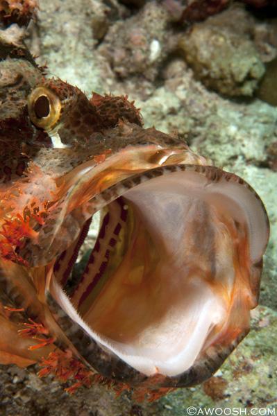 Awoosh.Wakatobi.yawning.scorpionfish